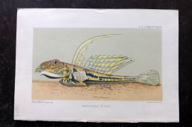 PZS 1898 Antique Print. Callionymus Lyra. Fish